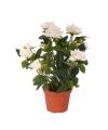 Mini rozenplantje met pot