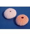 Mini zeeappel 4 cm